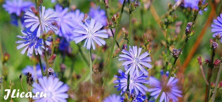 цикорий польза и вред свойства растения цветки