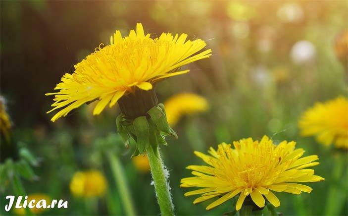Листья и цветки одуванчика для лица рецепты применение