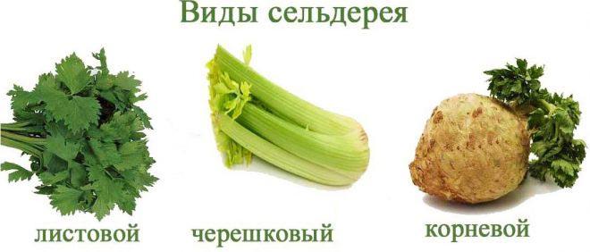 виды сельдерея черешковый листовой корневой