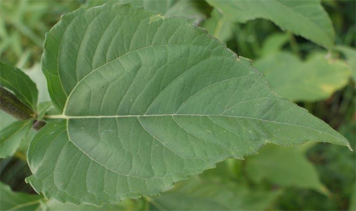 Листья топинамбура